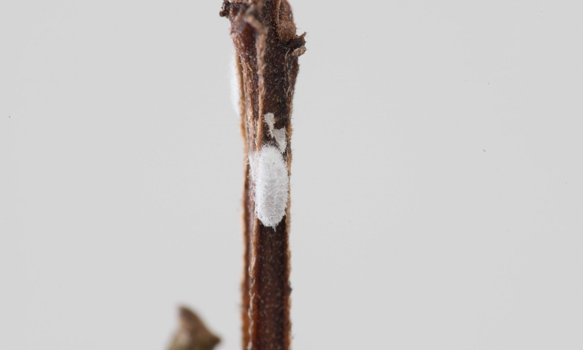 Crapemyrtle Bark Scale